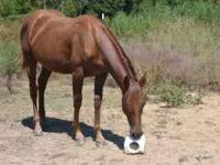 Nice sorrel filly, can be registered. Have cow horses