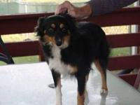 I HAVE A NICE ONE YR. OLD TOY MALE AUSSIE FOR SALE. HE