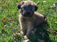 Extremely nice Wheaten males and ladies offered