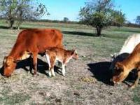 16 Crossbred Cows for Sale 16 Crossbred Cows for Sale.