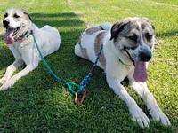 Nicky and Sonny's story Bonded Pair: Anatolian