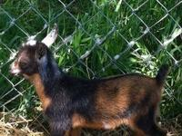 We have many goats for sale please contact for more