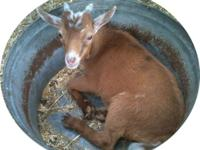 Nigerian Dwarf Goat Buckling - red and white. From