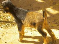 Nigerian Dwarf doeling ~ 9 weeks old ~ ready to go to