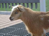Available is a gold colored Nigerian Dwarf goat doeling