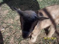 Nigerian goat baby boys, now being bottle-fed so they
