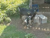 I have nigerian dwarf goats for sale they are small