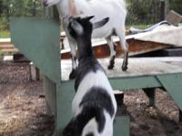 OUR GOATS, ARE QUALITY, FRIENDLY AND WILL SELL A FEW TO