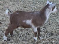 Cute Nigerian Dwarf Wether. I have 2 available. Make