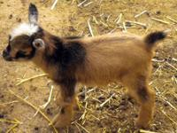 Purebred Nigerian Dwarf Wether ~ located in south
