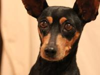 Nightingale is a 7 yo, 15 lb min pin who is very happy