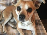 Nikko is a 1-2 year old chihuahua mix originally from