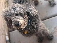 Nikko's story Nikko is a handsome male Poodle! He is a