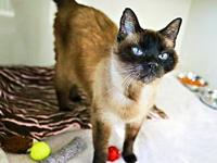 My story Nile is a beautiful Siamese cat looking for a
