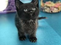 Nimbus's story Adoption fee is $75, this kittens approx