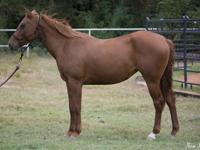 Name: Nina Gender: Mare Breed: Quarter Horse Height: