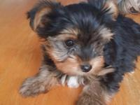 Nine week old Teacup Yorkshire Terrier Puppy'Girls