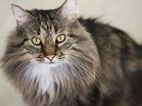 Ninja's story Sweet, Handsome, Adult Grey Tabby DLH