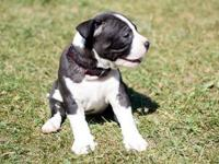 Njecka Male/Female American Bully puppies Ready,text us