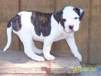 Excellent Quality Double Reg. American Bulldog