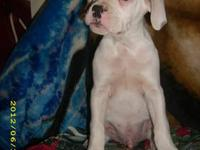 NKC registered American Bulldog. $150. Just turned a