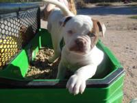Quality NKC purebred American Bulldogs. Born September