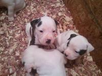 NKC American Bulldog puppies with papers are ready for