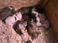 Fully papered AB pups for sale. Pups will be 8 weeks