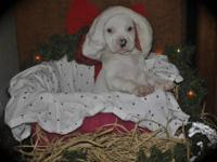 "NKC Reg. American Bulldog puppies, ""Ol Southern White"""