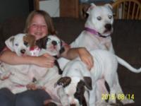 NKC and ABRA Reg. American Bulldog Puppies Females 12