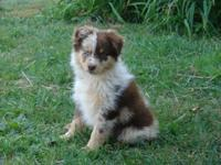 I have a 11 week old NKC registered Australian Shepherd