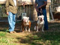 NKC American Bulldog puppies. Heavy Johnson Bloodlines