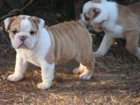 English Bulldog puppies. Just one female. She was born