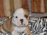 I have 4 English Bulldog puppies that were born on