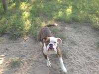 I have an 11month old male american bulldog looing for