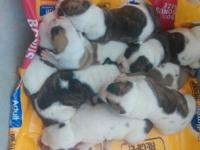 Hi I have 8 American bulldog puppies for sale , 3 males