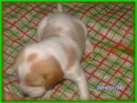NKC Registered female White & & Fawn/Tan Beagle