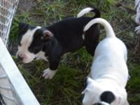 Beautiful American Bulldog Male NKC Registered Dual