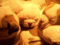 I have five american bulldog puppies for sale. These