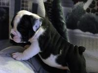 English bulldog young puppies, NKC registered, uncommon