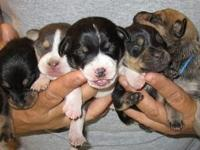 Mountain Bike Pets And Animals For Sale In Axtel Kentucky Puppy