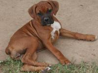 Beautiful NKC Registered Purebred Boxer puppies, only 2
