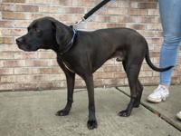 NOAH is a handsome black lab mix who is 4 years of age.