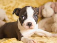Noah is a lovely little CKC Boston Terrier child kid.
