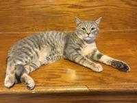 Noah's story This gorgeous silver tabby is Noah, and