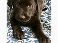 Noah's story Meet Noah. Noah is 9 weeks old and a lab