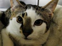Noah is a young male cat found wandering on his own.