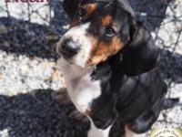 Noah is a purebred Treeing Walker Coonhound. He is 12