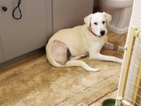 Noel is 1-2 year old yellow lab. She was hit by a car