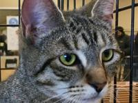 Noelle is a gorgeous gray tabby with green eyes.  She